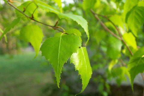 Приготовление состава на основе березовых листьев.