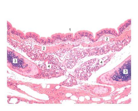 Реснитчатый мерцательный эпителий (1) – фото под микроскопом