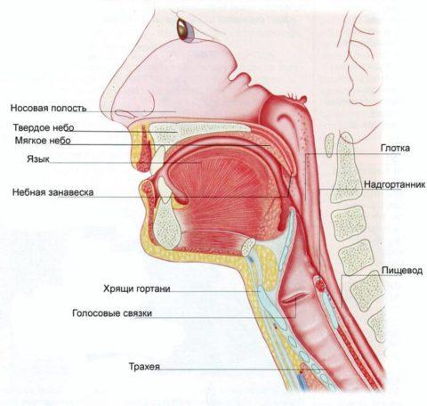 Любые заболевания верхних дыхательных путей и ротовой полости могут стать причиной пневмонии