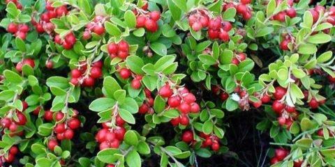 Для приготовления брусники на меду рекомендуется брать только спелые ягоды, обладающие максимальными полезными свойствами.