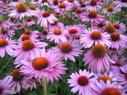 Эхинацея пурпурная – мягкий иммуномодулятор