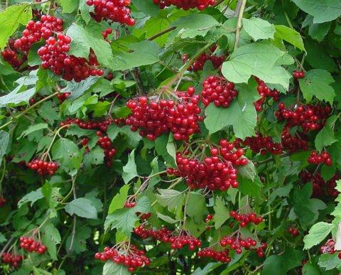 Калина на меду является отличным средством для лечения простудных заболеваний и бронхитов.