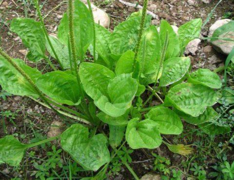 При самостоятельном сборе трав, например, подорожника, следует убедиться в том, что растения произрастают в экологически чистой местности.