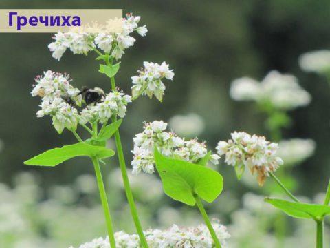 Приятный на вкус настой цветов гречихи поможет очистить организм и смягчить приступы мучительного кашля.