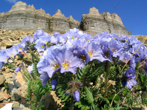 Трава синюха лазурная или греческая валериана
