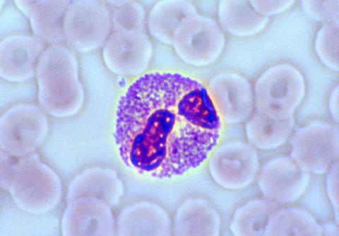 Эозинофил под микроскопом