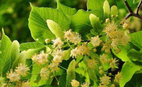 Липа мелколистная – ценнейший медонос умеренных широт