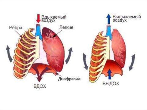 Работа дыхательных мышц на вдохе и выдохе
