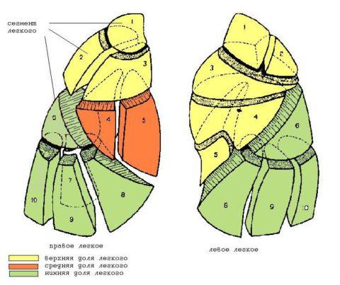 Сегментарное строение легких