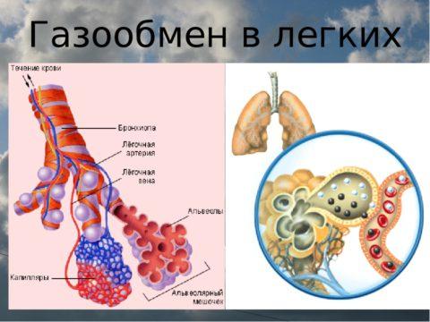 Схема газообмена в легких