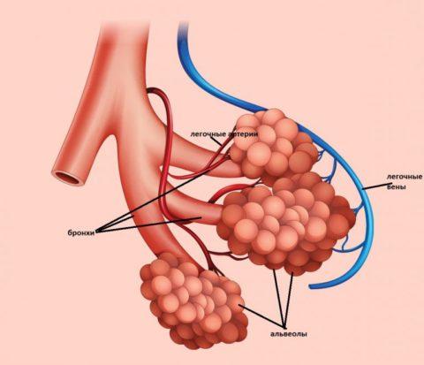 Строение бронхоальвеолярного комплекса