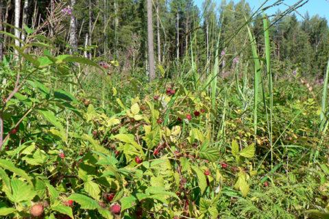 Заросли малины на вырубке леса