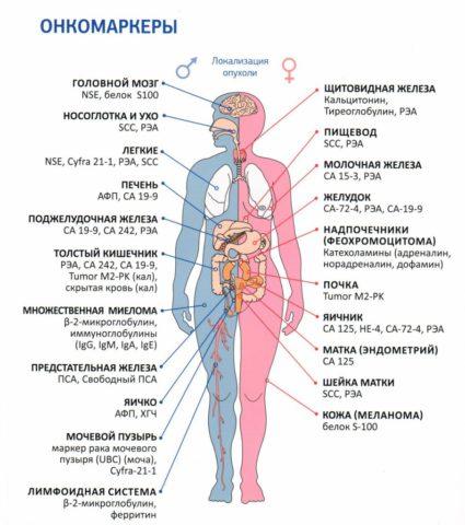 Перечень основных онкомаркеров