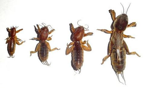 Медведки – насекомые с неполным превращением, поэтому личинки очень похожи на взрослую особь (имаго)